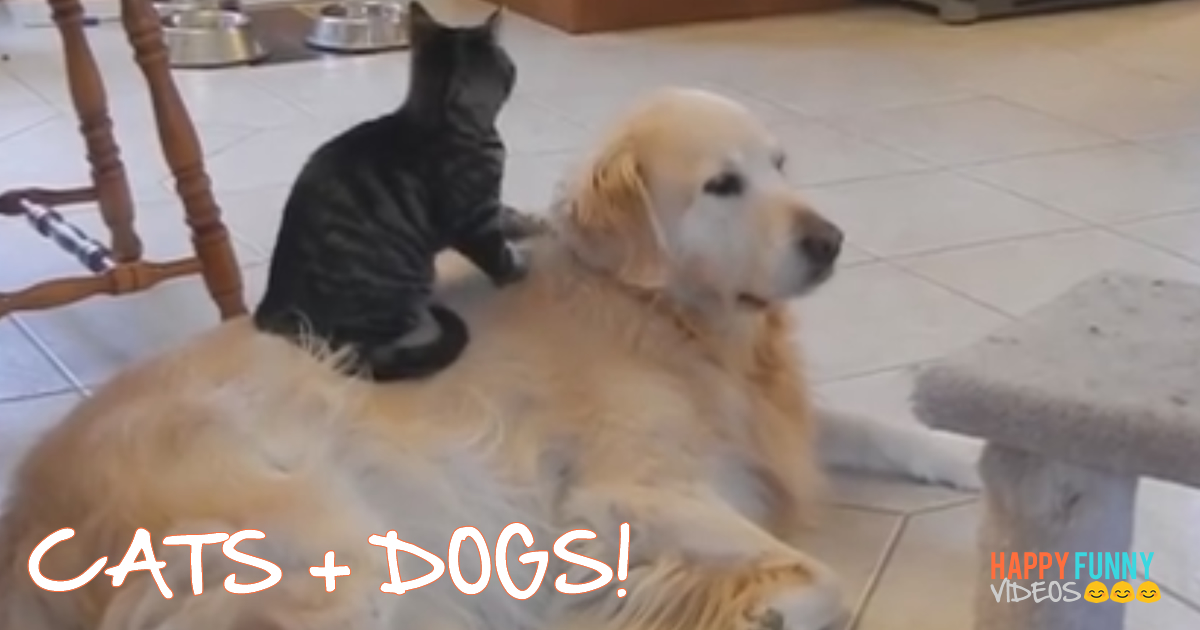Dogs And Cats Playing Together Funnyhappyvideos Com