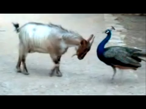 top funny birds videos   try not to laugh or grin compilation
